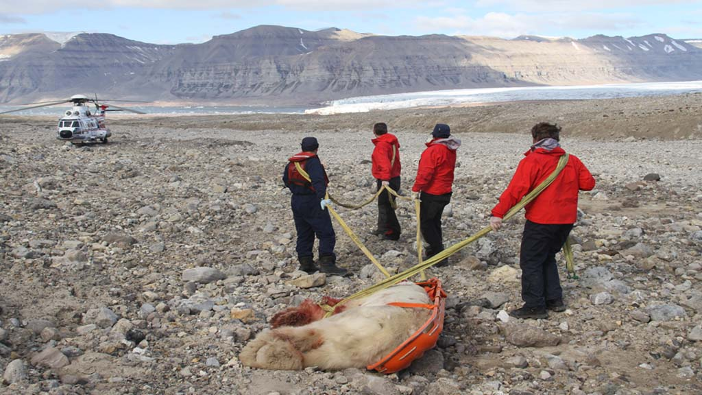 ISBJØRN:   Dette er isbjørnen som tok livet av en 17 år gammel gutt fra Storbritannia   og skadet fire andre alvorlig. (Foto: Arild Lyssand/Sysselmannen på Svalbard)