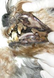 Tennene til denne hunden er dekket av brun tannsten.