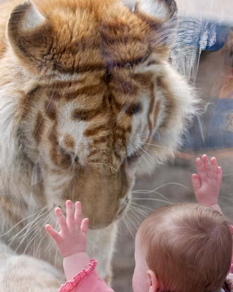 KOSAR: ¿Eg har aldri sett slik ømheit frå eit digert rovdyr, seier Dyrk Daniels. (Foto: Solent News & Photo Agency)
