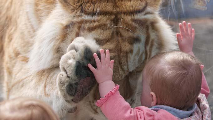 DRAMATISK: Det ser kanskje dramatisk, men det er faktisk eit tilfelle av ein særs kosete tiger som bøyer seg ned for å gje vesle jenta ein klem. (Foto: Solent News & Photo Agency)