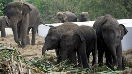 elefanter (Foto: Apichart Weerawong/Ap)