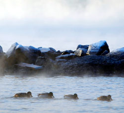 Det danner seg frostøyk både over sjø og ferskvann. Her svømmer fire ender i frostrøyken ved Huk på Bygdøy i Oslo. (Foto: Håkon Mosvold Larsen / Scanpix)