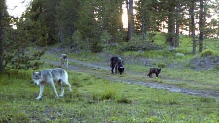 FLOKKEN: Dette bilde er av flokken til den vandrende ulven tatt 9. juli. Alle er radiomerket. (Foto: Trail Camera/Ap)