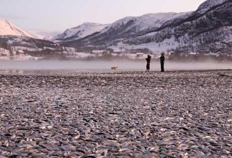 Tonnevis av død sild ligger i vannkanten som et teppe. (Foto: Jan-Petter Jørgensen)