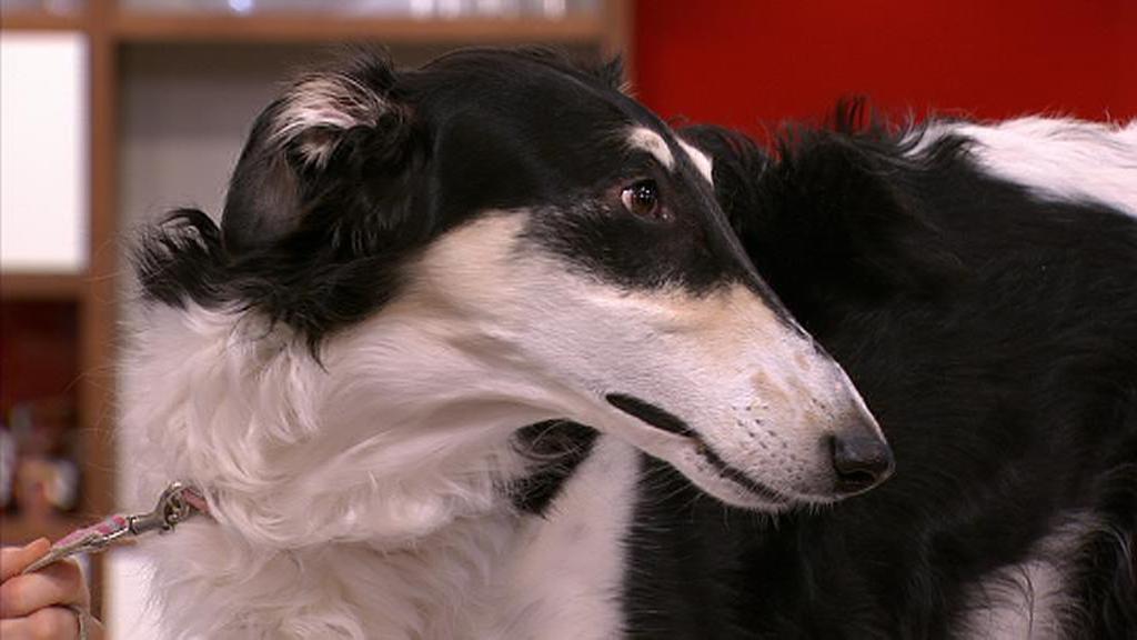Hunden Nelly ble deprimert av innbilt svangerskap. (Foto: God morgen Norge)
