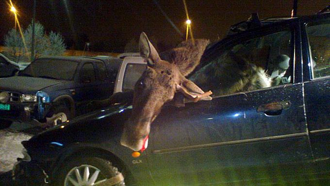 ELG GJENNOM RUTA: Elgen som ble påkjørt på riksvei 30 i Røros-området døde i sammenstøtet med bilen. (Foto: Trond Bonde)