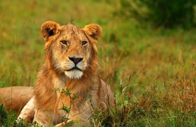 Safarireiser blir en trend i 2012. Nå vil også charteroperatøren   Star Tour tilby nærkontakt med en løve. (Foto: Colourbox)