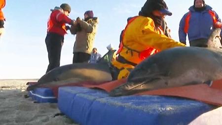 SKYLT I LAND: Nær hundre delfiner er funnet på strendene ved Cape Cod de siste to ukene. (Foto: CBS)