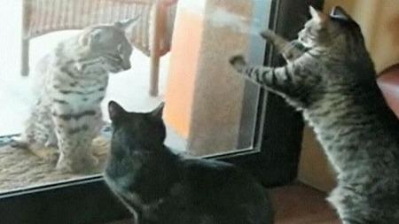 HEI DU!: Huskattene Pima (t.h.) og Mogie (t.v.) forsøker å få oppmerksomheten til gaupen som slapper av på matten utenfor glassdøren. (Foto: CBS)