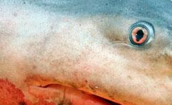 Luktesansen er viktigere enn øynene når håkjerringen jakter. (Foto: AFP)