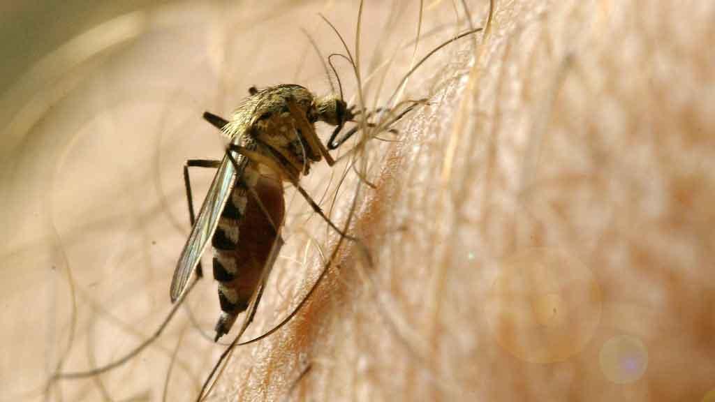 BLODSUGERE: Gravide kvinner, sure tær og svette kropper er blant myggens favoritter.  (Foto: Illustrasjonsfoto)