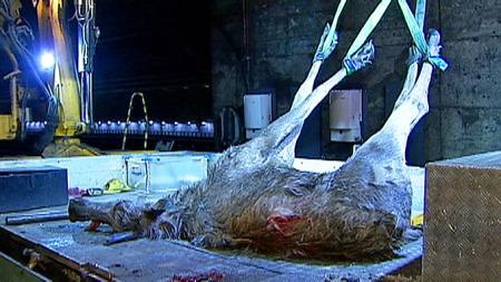 SKOGENS KONGE: Elgen måtte bøte med livet etter å ha forvillet seg inn i togtunnelene under Oslo lørdag. Her fraktes det store dyret bort. (Foto: TV 2)
