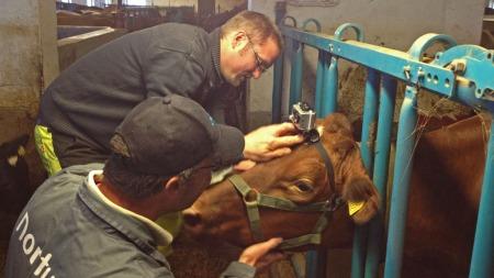 KYNDIG HJELP: Videokameraet ble festet som en hodelykt på kua.  (Foto: Svein Flagestad/TV 2)