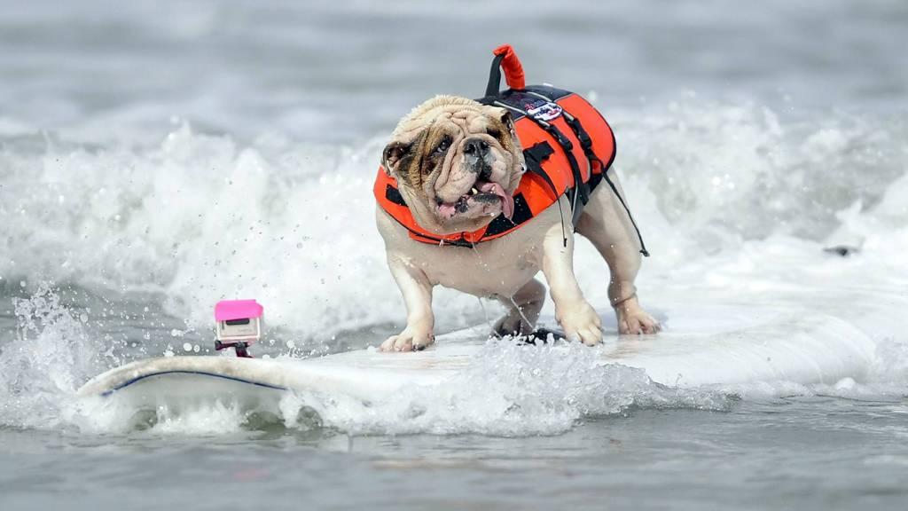 STILSIKKER: Betsy, en sju år gammel Engelsk bulldog, står stødig på brettet under surfedelen av konkurransen.  (Foto: GUS RUELAS/Reuters)