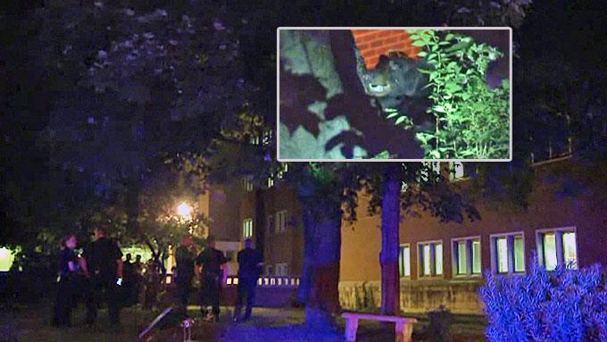 JAGET OPP I TRE: Bjørnen som letet etter mat på universitetsområdet i Tennessee fikk studentene på nakken - og søkte til slutt tilflukt i et tre. (Foto: CBS)