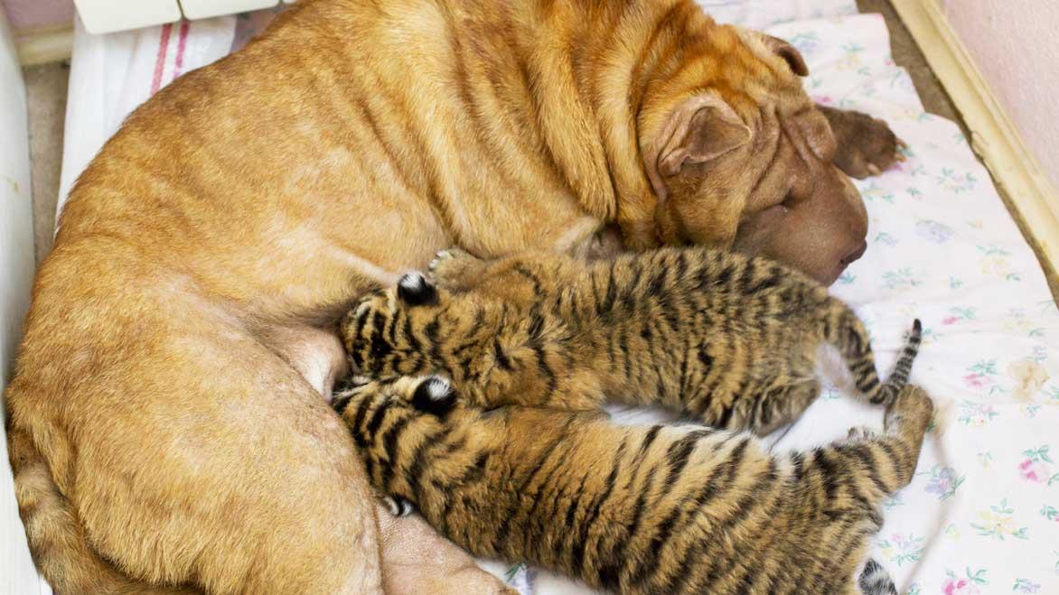 NY MAMMA: Her har dei to små tigrane som mor ikkje ville ha, funne ny varma. (Foto: AP/Scanpix)