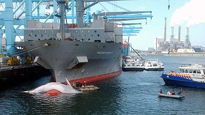 """HVAL I HVER HAVN: """"Maersk Norwich"""" fraktet kontainere fra Colombia, men dro også med seg en finnhval inn til havnen i Rotterdam. (Foto: Tie Schellekens, Port of Rotterdam)"""