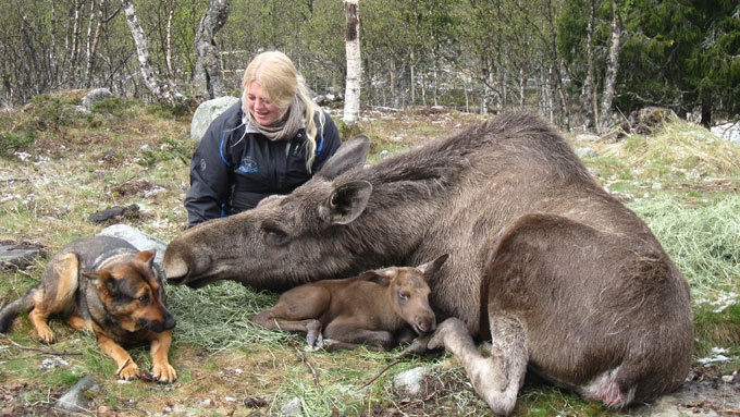 FAMILIEHYGGE: Anne Grete, elgen Svea, Sveas første kalv Svevin og schäferhunden Chika. Bildet er fra 17. mai-feiringen på Langedrag i fjor vår. (Foto: Gro Saugerud/PRIVAT)