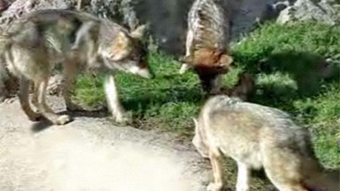 Disse ulvene i Kolmårdens djurpark er fotografert ved en annen anledning. (Foto: Kolmarden.com)
