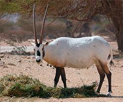 Arabisk oryx har bare noen få plantearter på menyen, og er spesielt truet nå som temperaturen stiger. (Foto: Wikipedia)