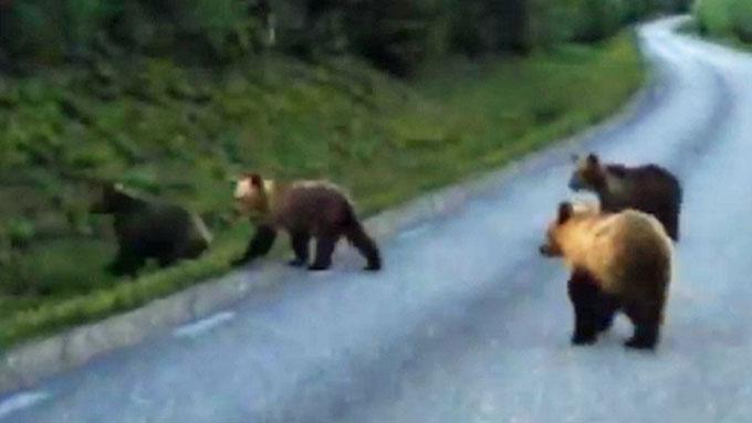 BAMSER PÅ TUR: En binne med tre bjørnunger krysser veien i Sverige.  Peter Albertsson og familien sitter i bilen og filmer. (Foto: Peter Albertsson)