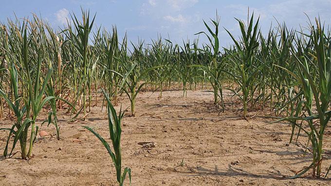 En vanvittig hetebølge rammer store deler av USA for tiden. Over 40 mennesker har mistet livet. På bildet ser vi uttørkede jordområder vest i Kentucky. (Foto: AP Photo/The Paducah Sun, Allie Douglass)