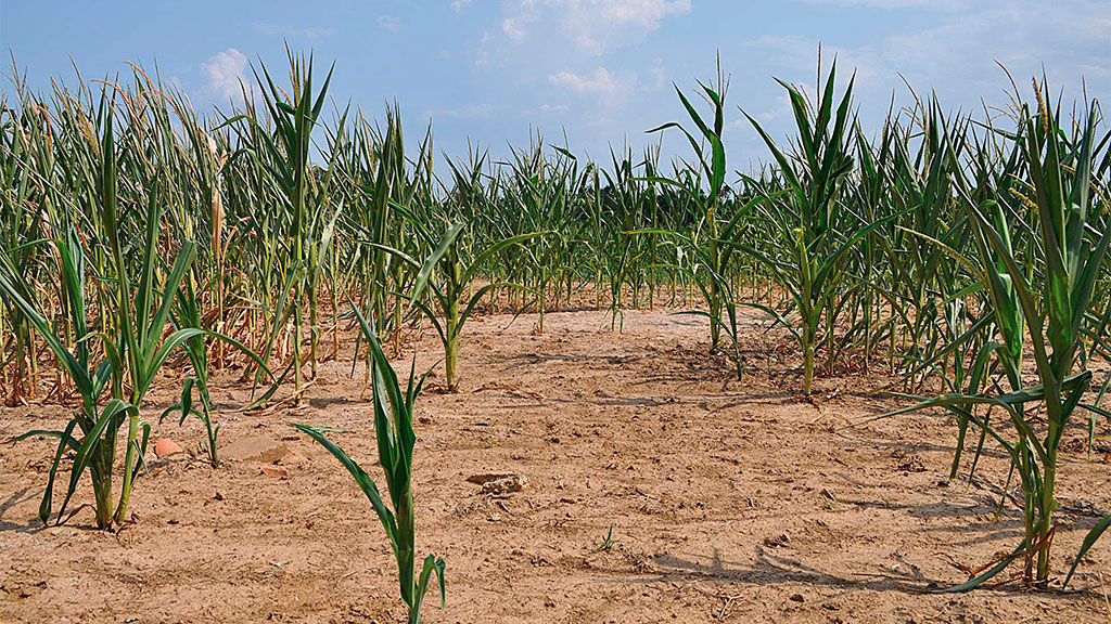 Denne maisåkeren i Kentucky er knusktørr, og avlingene kraftig redusert. Bildet ble tatt 5. jui. (Foto: Ap)