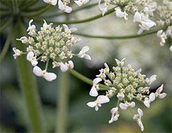 Blomstene til tromsøpalmen danner en stor skjerm, det har gitt planteslekten navn. (Foto: Wikipedia Commons)