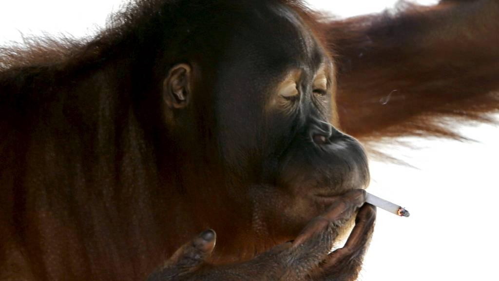VELFORTJENT BLÅS: Det er publikum i dyreparken som forsyner Tori med sigaretter. (Foto: AP/Ap)