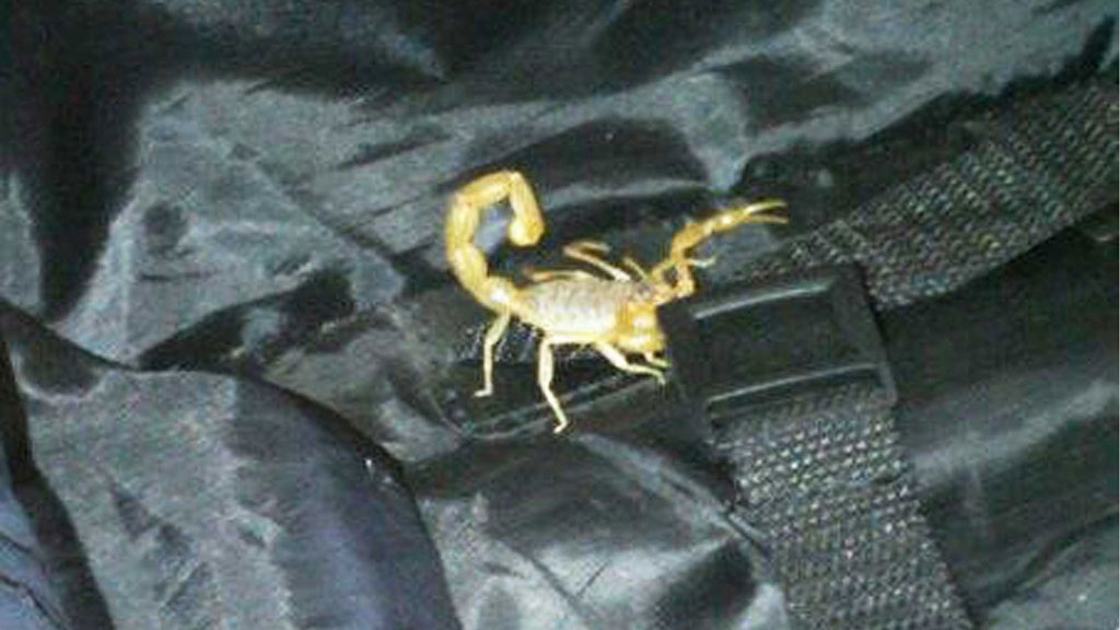 ROMKAMERAT: Skorpionen Deathstalkeren regnes som verdens nest mest giftige, og kan være dødelig for personer med hjerteproblemer eller allergier. I en måned bodde denne ubudne gjesten på rommet til Theresa Jayes. (Foto: Scanpix)