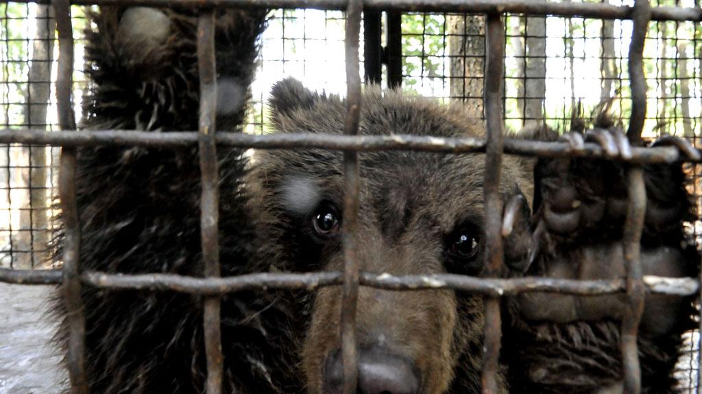 Husker du bjørnungen Nastia? Nå skal hun få et bedre hjem, etter å ha blitt reddet fra en privat dyrehage. (Foto: REUTERS/Mihai Vasile/Four Paws)