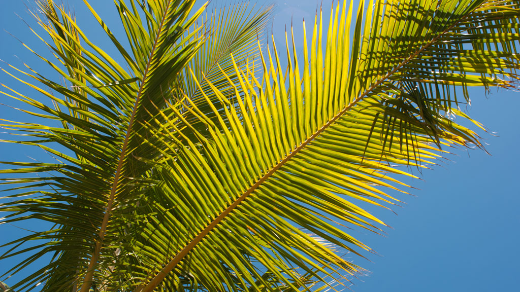 palme (Foto: Illustrasjonsbilde)
