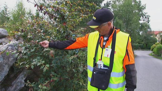 RYDDESJAU: Odd Bondevik leder ryddegjengen som har fjernet trær i over 20 kommuner.  (Foto: Geir Johnny Huneide/TV 2 )