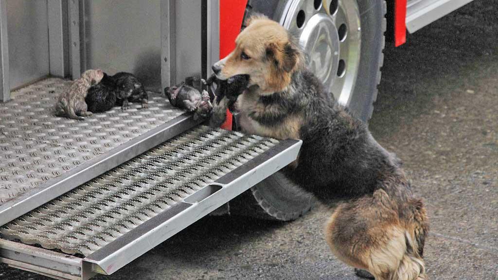 Hund redder valper (Foto: AP)