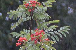 Knallrøde og søkkvåte rognebær, høsten er på vei. (Foto: Ronald Toppe)