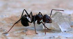 En maus gnager på et sukkerkorn. Den harde huden til insekter, reker, og krabber er kitin, som er bygget opp av de samme elementene som sukkeret. (Foto: Wikimedia Commons)