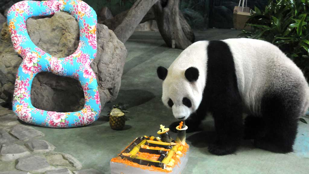 FEIRET: I slutten av august var det pandabursdag i Taipei dyrehage. Det ble feiret med bambuskake.  (Foto: Stella Pictures)