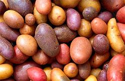 Det finnes en mengde ulike potetsorter. (Foto: Wikipedia Commons)