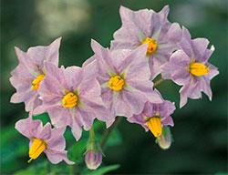 Potetene må høstes før planten blomstrer, derfor ser du aldri hvor flotte de er. (Foto: Wikimedia Commons)