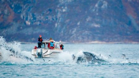 Hvalene kommer rett opp av sjøen gjennom sildestimen. (Foto: Espen Bergersen / naturgalleriet.no)