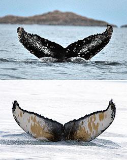 Så ulike kan undersiden av halen til knølhvalene være. (Foto: Fredrik Broms)