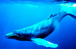 Knølhvalene blir 15-20 meter lange, og veier opp mot 30 tonn. Navnet har den fått fra de store klumpene, knølene, rundt munnen. (Foto: Wikipedia)