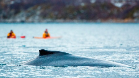 Hvalene vet hvor du er, men det er store dyr, så gi dem plass. (Foto: Espen Bergersen / naturgalleriet.no)