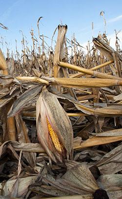 Tørke som i USA sommeren 2012 blir vanlig dersom den globale temperaturen stiger med fire grader. (Foto: AP Photo/Nati Harnik)