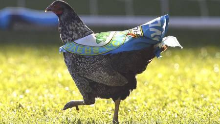 En høne med Blackbur-flagg ruslet rundt på Turf Moor i kampen mellom Burnley og Blacknurn. (Foto: Dave Thompson/Pa Photos)