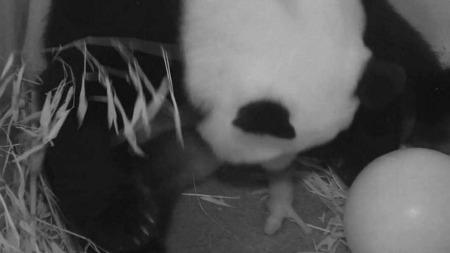 PÅ VAKT: Moren Mei Xiang voktet sine nyfødte lenge etter fødselen, men etterhvert fikk veterinærer lov til å undersøke den friske lille kjempepandaen som kom til verden fredag. (Foto: Afp)
