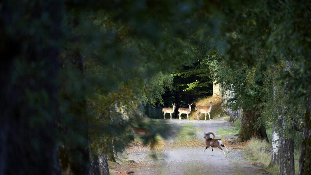 Ricca fauna selvatica.  Nel parco e nella foresta che circondano il castello, un branco di cervi mufloni e pecore vagano liberamente.