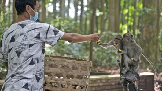 Diervoeding: Apen in het reservaat hebben een grote eetlust en eten is duur, aldus de directeur van het reservaat.  De lokale bevolking schonk voedsel om te helpen, maar zelfs hier raakt het geld op.