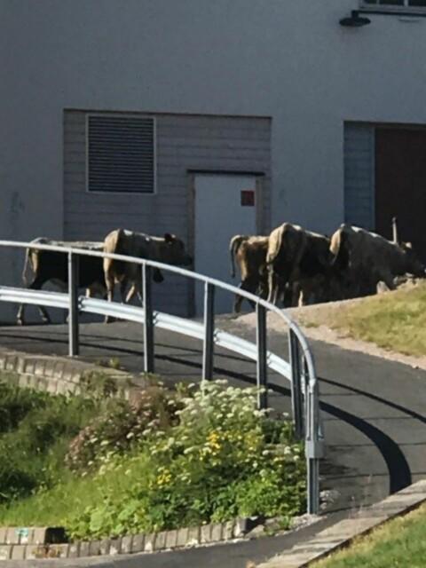 12 okser på rømmen i Trøndelag