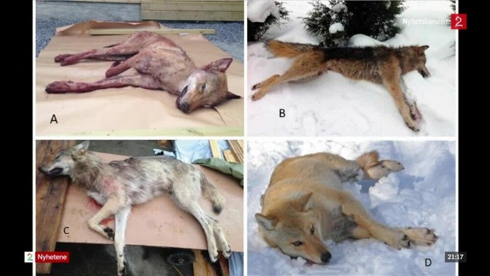 Herlig Er dette ulv? Nå krever frustrerte innbyggere i Hedmark svar YV-22